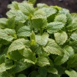 Lemon Balm – An Exercise in Individuality