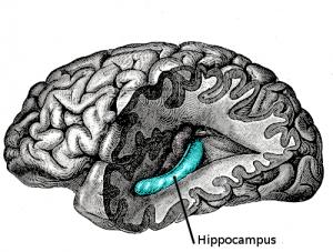 hippocampus-photo1-300x227