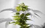 420: Cannabis Against Cancer