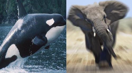 orca and elephant