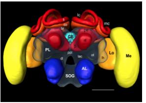 urface reconstruction of the honeybee standard brain (HSB).