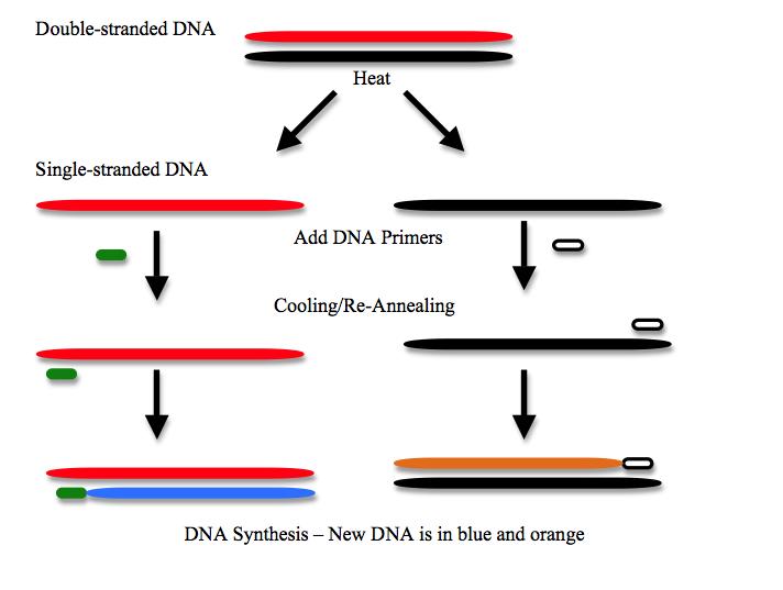Biohacking: PCR Primer - h+ Mediah+ Media